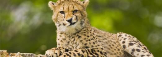 cheetah-smirking-985x350