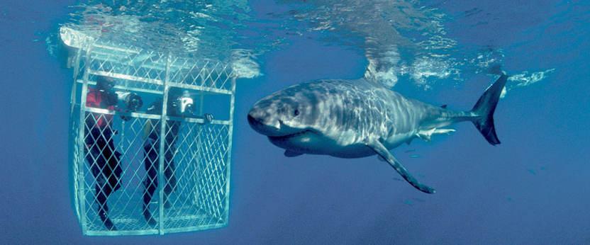 shark diving.jpg